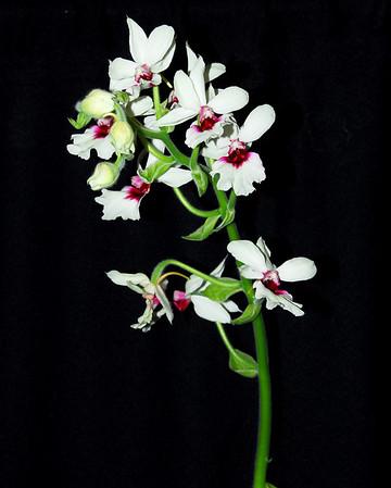 Flower - Orchid - Calanthe Grouville