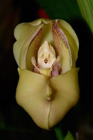 Flower - Orchid - Anguloa uniflora