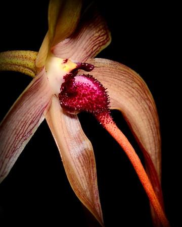 Flower - Orchid - Bulbophyllum echinolabium