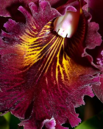 Flower - Orchid - Brassolaeliocattleya Chia Lin 'Shinsu #1'