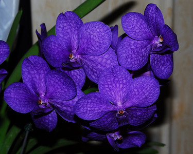 Flower - Orchid - Ascocenda 'Princess Mikasa' (purple)
