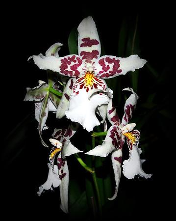 Flower - Orchid - Beallara Pacific Pastel 'Massive'