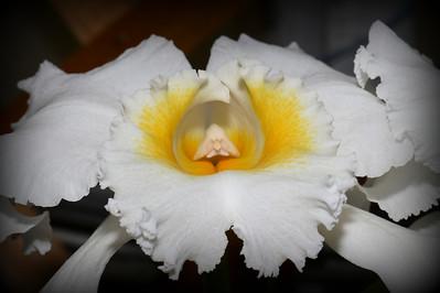 Flower - Orchid - Brassolaeliocattleya