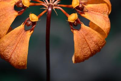 Flower - Orchid - Bulbophyllum mastersianum