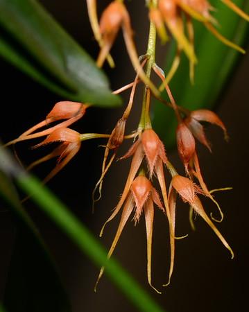 Flower - Orchid - Bulbophyllum taiwanense