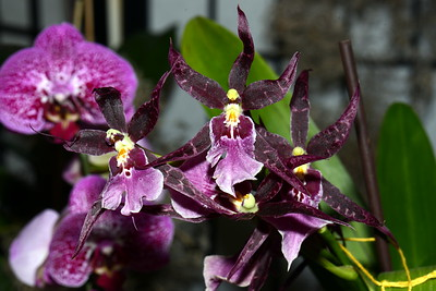 Flower - Orchid - Beallara Marfitch Howards Dream