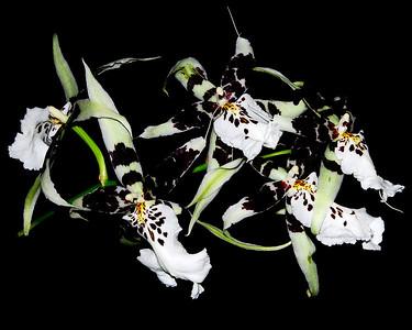 Flower - Orchid - Beallara Tropic Splendor 'GG' x 'Francine'