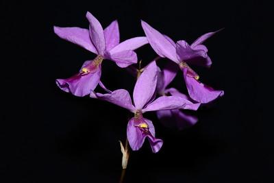 Flower - Orchid - Barkeria Linda Allen