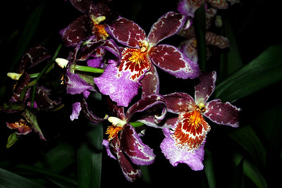 Flower - Orchid - Beallara Tropic Tom 'HOF #2'