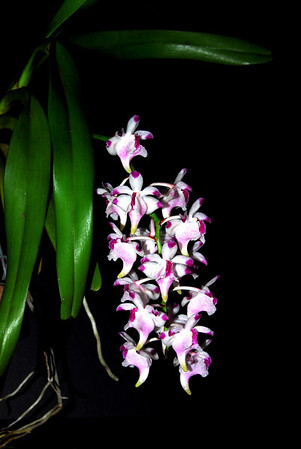 Flower - Orchid - Aerides lawrenciae