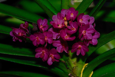 Flower - Orchid - Ascocentrum Mona Church x Ascocentrum ampullaceum