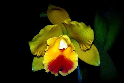 Flower - Orchid - Brassolaeliocattleya Ivan Sng x Laeliocattleya Varut Startrack 'Vipaporn'