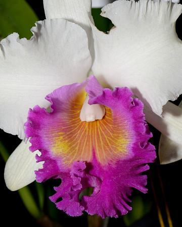 Flower - Orchid - Brassolaeliocattleya Suzanne's Hallelujah 'Paradise'