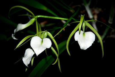 Flower - Orchid - Brassavola Little Stars (Brassavola nodosa x subulifolia)