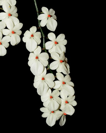 Flower - Orchid - Aerangis luteo-alba var rhodosticta