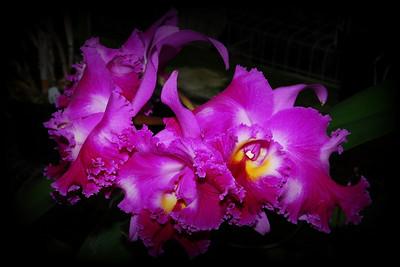 Flower - Orchid - Brassolaeliocattleya Chrissy Compton 'Lucille'