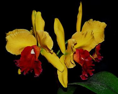 Flower - Orchid - Brassolaeliocattleya Memoria Helen Brown 'Sweet' x Brassolaeliocattleya Toshie Aoki 'Robin'