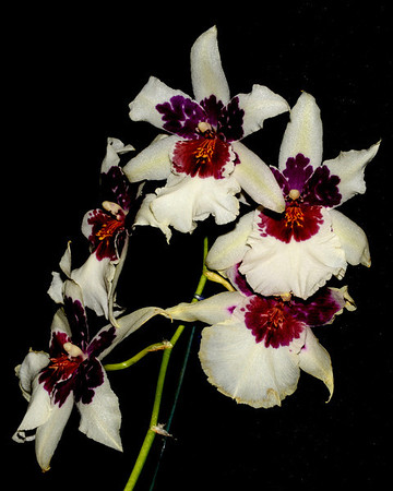 Flower - Orchid - Beallara Big Shot 'Hilo Sparkle'