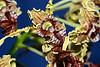 Flower - Orchid - Dendrobium spectabile