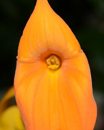 Flower - Orchid - Masdevallia Highland Monarch '#34' (Highland Fling x Monarch)