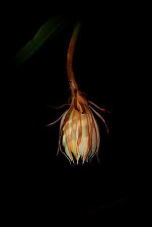 Flower - Orchid - Kagawara Yuthayong Beauty