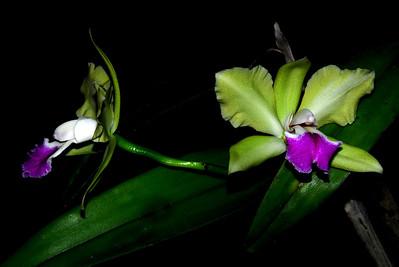Flower - Orchid - Laeliocattleya Erin Bill Teel Elsteed x Kencolor