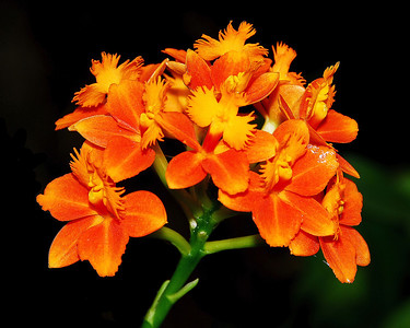 Flower - Orchid - Epidendrum