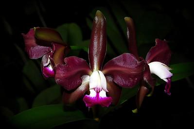 Flower - Orchid - Laeliocattleya Hausermann's Sultan 'Summer Spectacular'