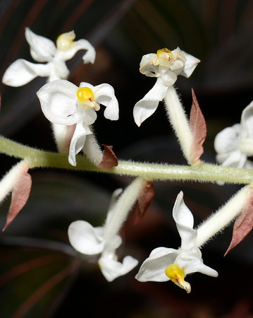 Flower - Orchid - Ludisia discolor