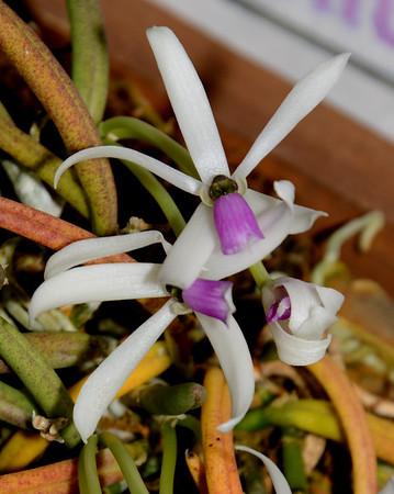 Flower - Orchid - Leptotes bicolor