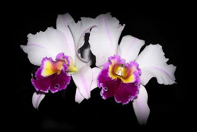 Flower - Orchid - Laeliocattleya Costal Concept 'Comet'