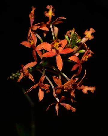 Flower - Orchid - Epidendrum cinnabarinum
