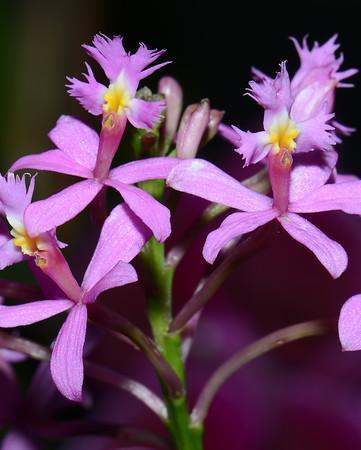 Flower - Orchid - Epidendrum secundum