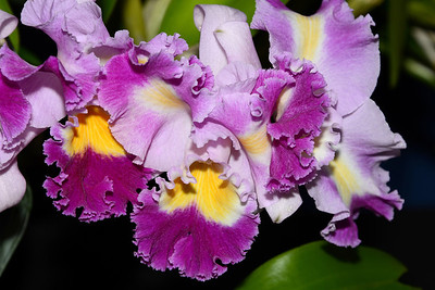 Flower - Orchid - Laeliocattleya Memoria 'Helen Ott'