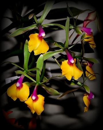 Flower - Orchid - Epicattleya Rene Marques 'Tyler' Claesiana