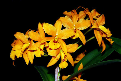 Flower - Orchid - Laeliocattleya Gold Digger 'Buttercup'