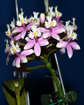 Flower - Orchid - Epidendrum Wedding Valley 'Sakura Komachi'