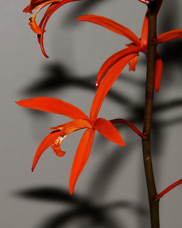 Flower - Orchid - Laelia cinnabarina 'Stephanie Vodicnik'