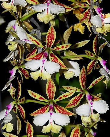 Flower - Orchid - Epidendrum stamfordianum