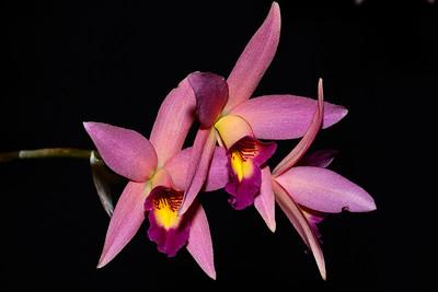 Flower - Orchid - Laeliocattleya Newberry Glow