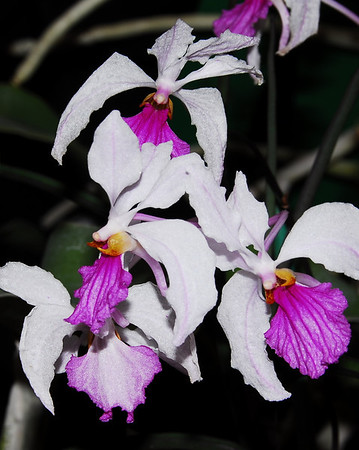 Flower - Orchid - Holcoglossum kimballianum