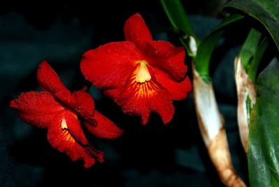 Flower - Orchid - Hawkinsara (Mini Doris x Why Not)