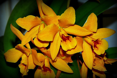 Flower - Orchid - Guarisophleya Gold Digger 'Buttercup'