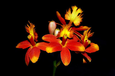 Flower - Orchid - Epidendrum Lakeview Yellow Splash