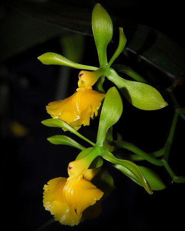 Flower - Orchid - Epidendrum Silvestre