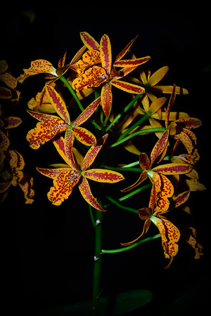 Flower - Orchid - Epilaeliocattleya Volcano Trick 'Fireball'
