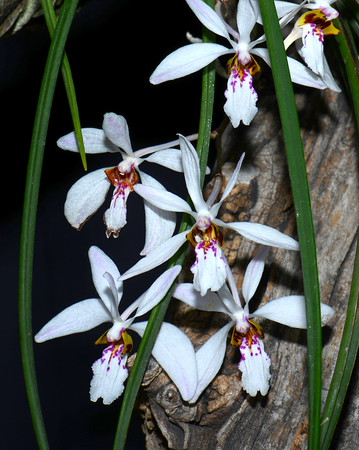 Flower - Orchid - Holcoglossum wangii
