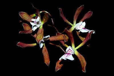Flower - Orchid - Encyclia pyriformis