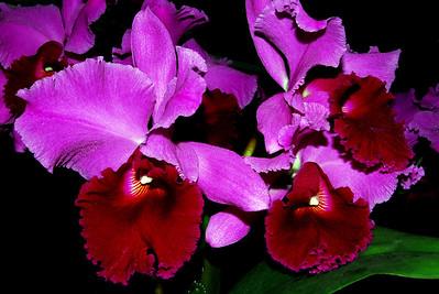 Flower - Orchid - Laeliocattleya Betty Ford 'York'
