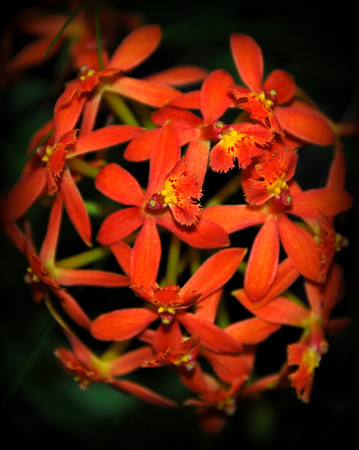 Flower - Orchid - Epidendrum Hula Dancer